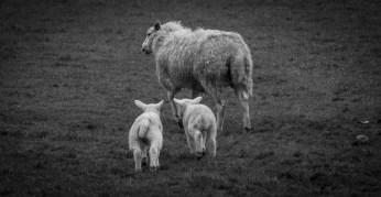Follow the leader, lambs following their mum