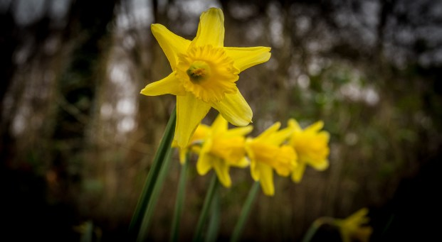 Daffodils at Castell Coch