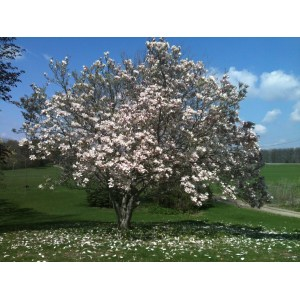 Scenic Japanese Magnolia Or Important Facts Jane Magnolia Tree Care