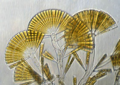 Pennate Diatom, Licmophora sp.