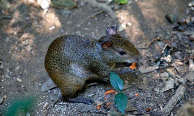 Cutias podem ajudar restauração florestal do Parque Nacional da Tijuca