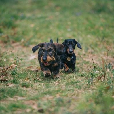 sausage dogs-34