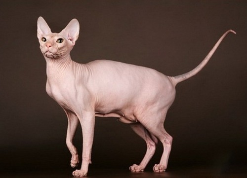Image result for Peterbald