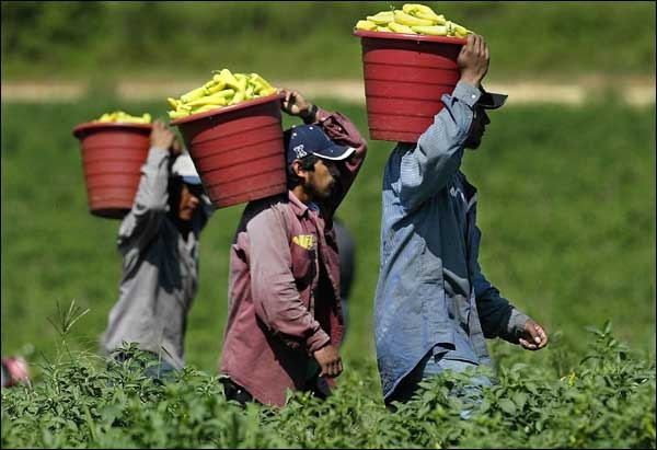 illegal immigrants picking fruit