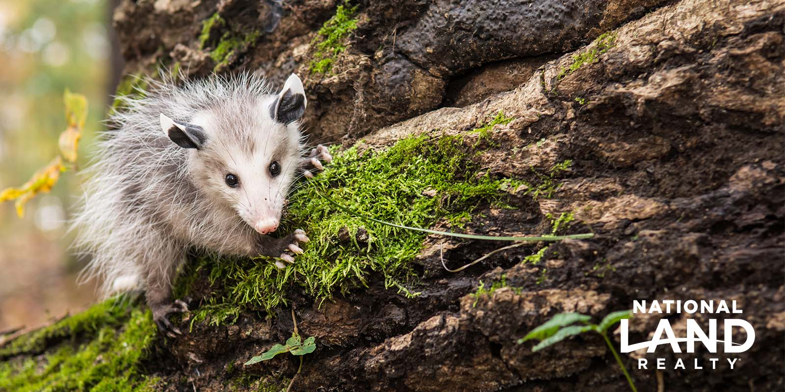 Opossums On Your Land Can Be a Good Thing