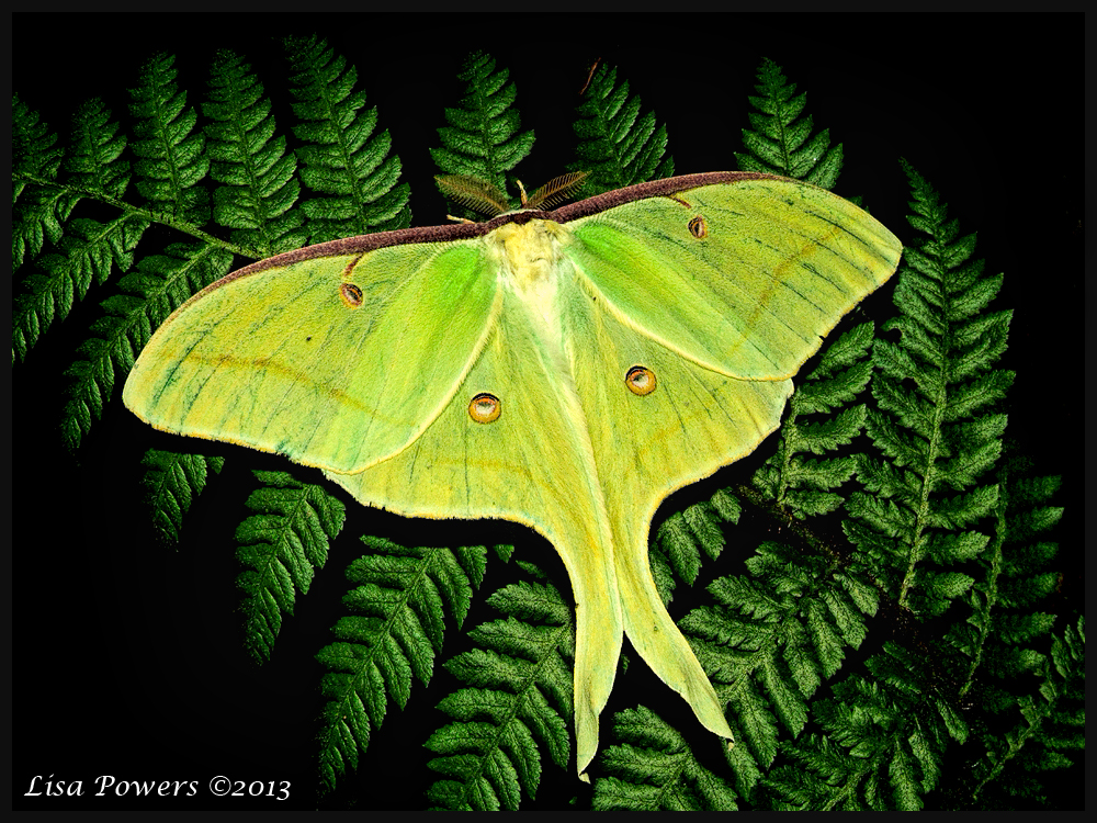 our giant silk moths and ancient mythology national moth week