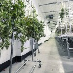 Resinous Flooring for Cannabis Production