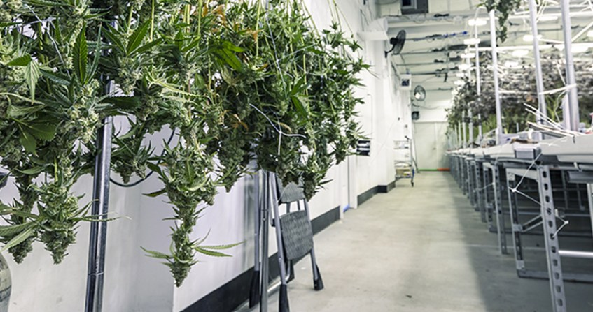 Resinous Flooring for Cannabis Production