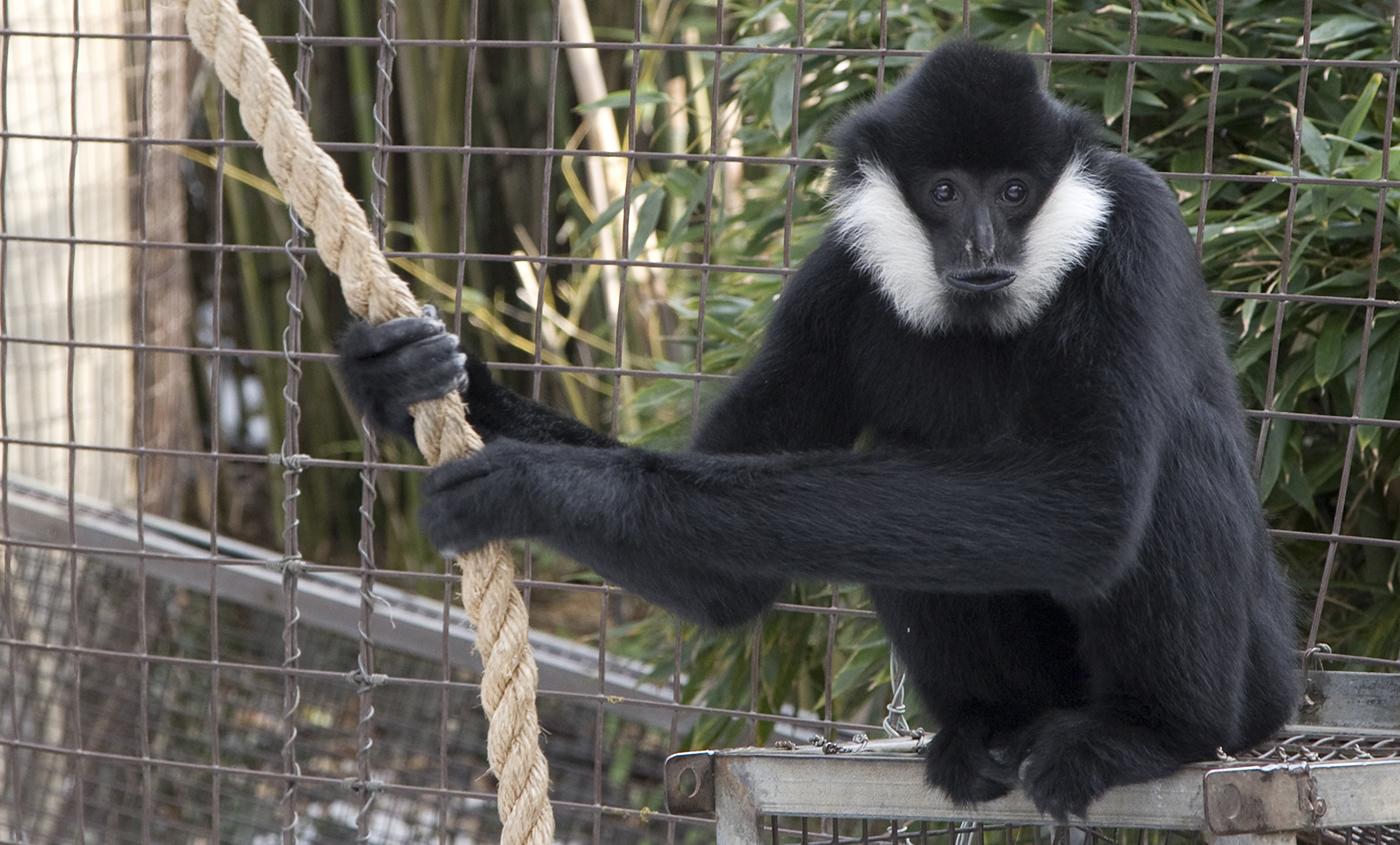 White Cheeked Gibbon Smithsonians National Zoo