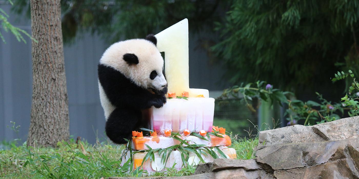 Giant Panda Birthday Celebration Smithsonians National Zoo