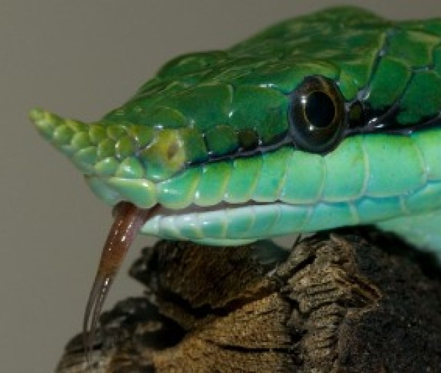 Rhinoceros Snake Smithsonians National Zoo
