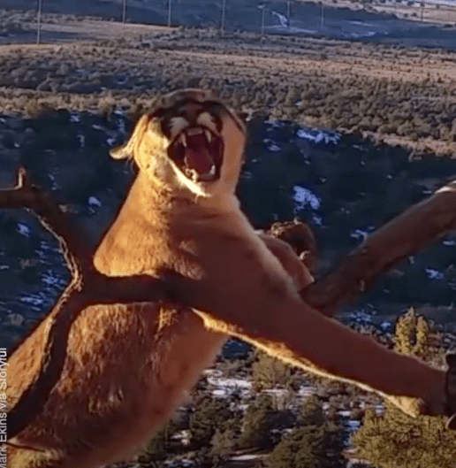 Brave Wildlife Workers Risk Their Lives Rescuing Trapped Cougar
