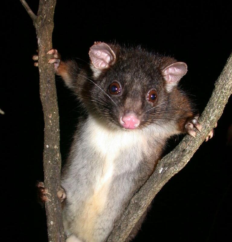 Ringtail possum