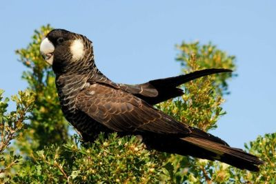 Carnabys Black Cockatoo