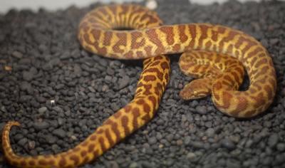 Stimpsons Python