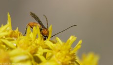 A tiny, beautiful wasp sips nectar from Stiff Goldenrod.