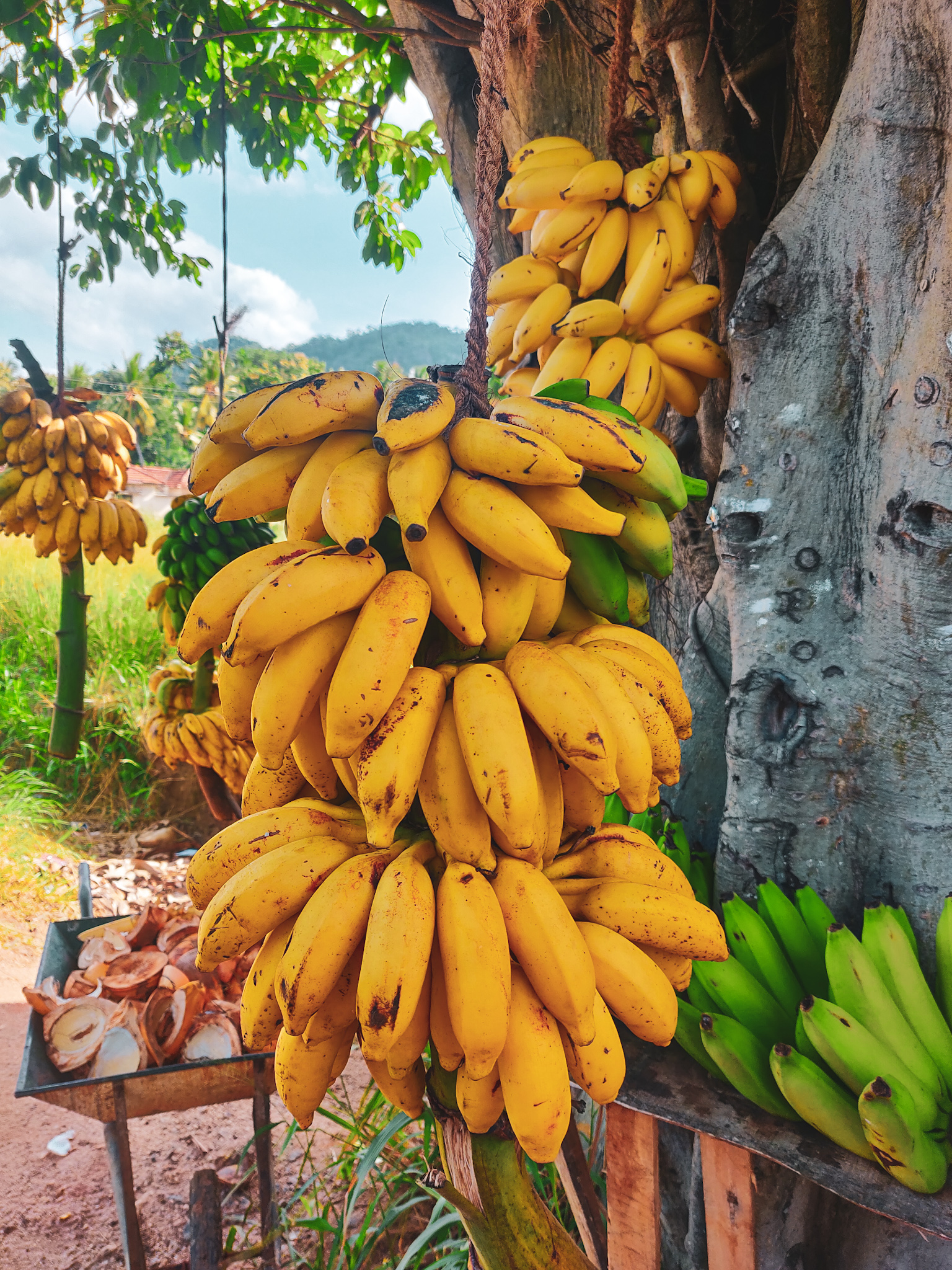 Bananas in Sri Lanka