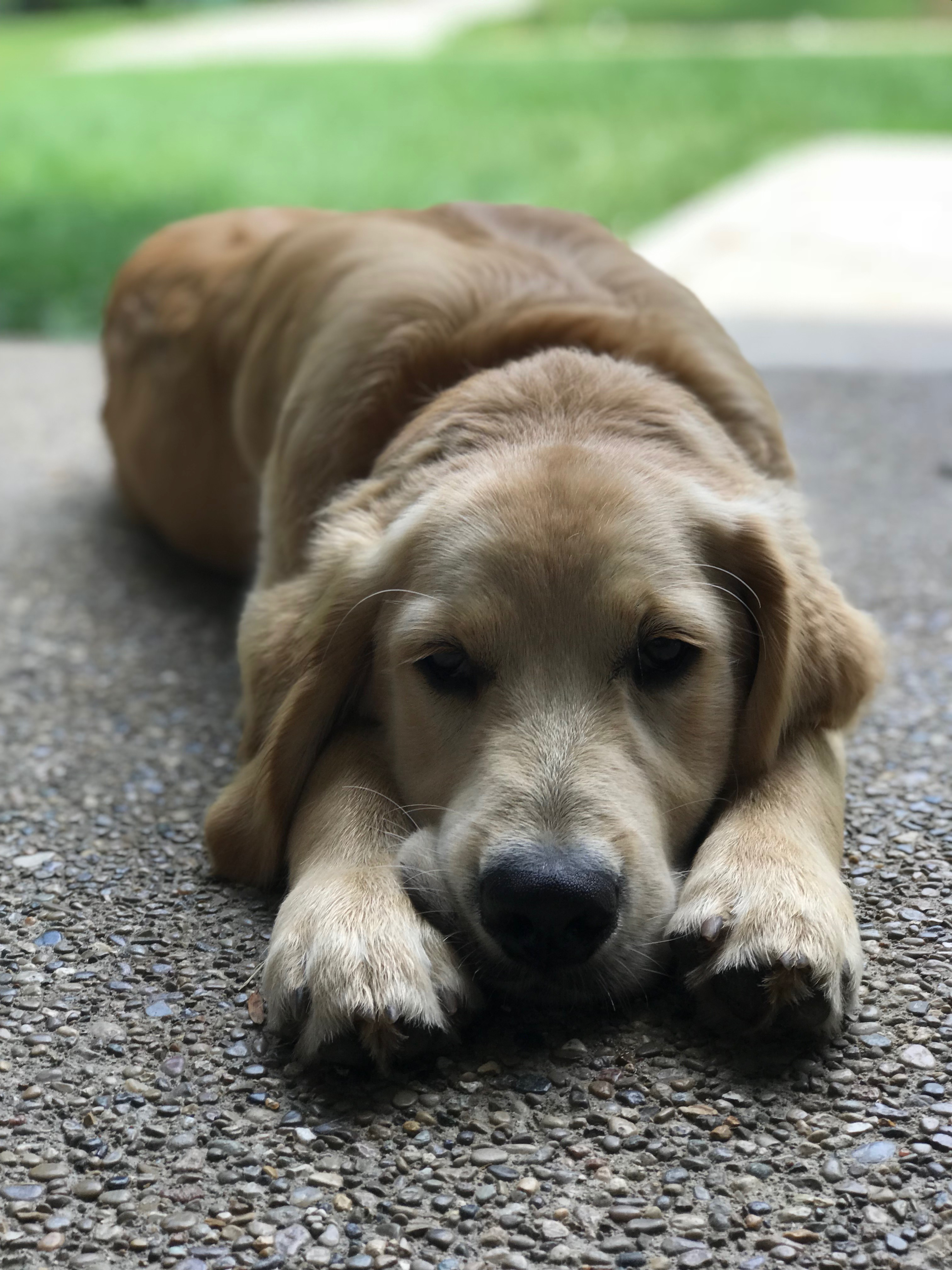Puppy Laying in Yard