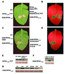 Experiments illuminate key component of plants' immune systems