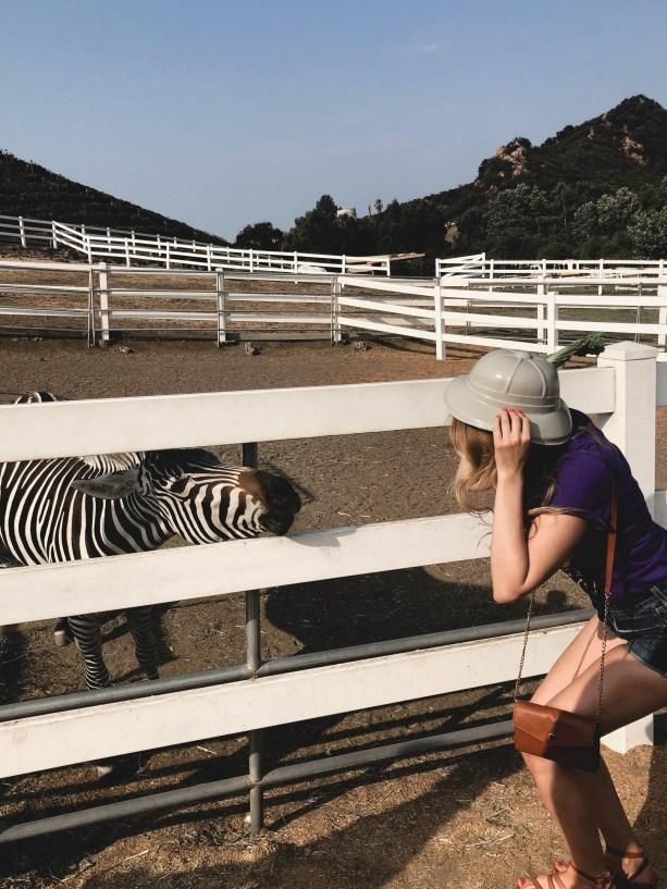 Zebras on the Malibu Wine Safari