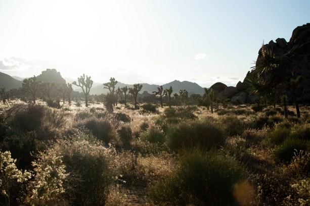 golden hour in Joshua Tree