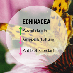 EchinaceaAbwehrkräfte1