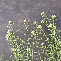 Hirtentäschel - Capsella bursa-pastoris