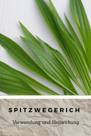 Spitzwegerich1