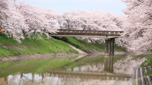 川べりの桜の写真