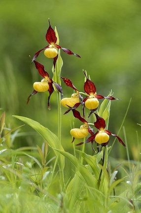 Frauenschuh
