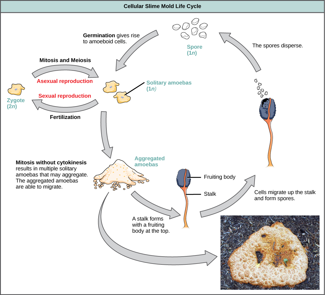 Myxomycetes Nature Vision