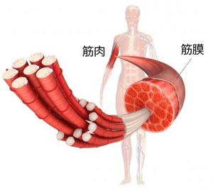 筋肉と筋膜