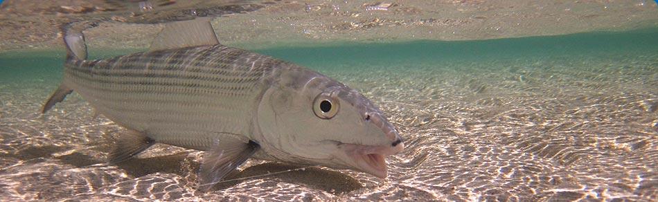 Bonefishing Bahamas