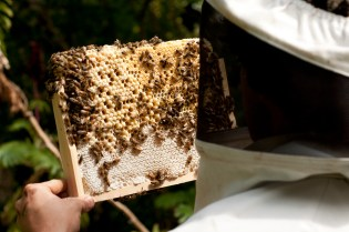 Inspecting a frame of brood