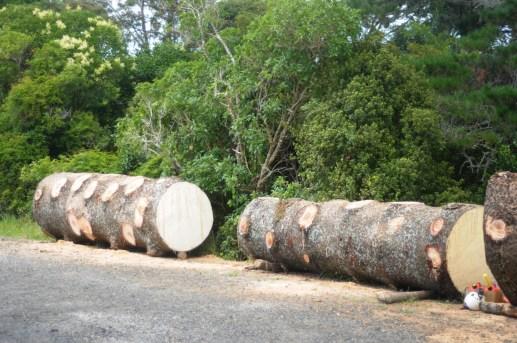 Norfolk pine logs