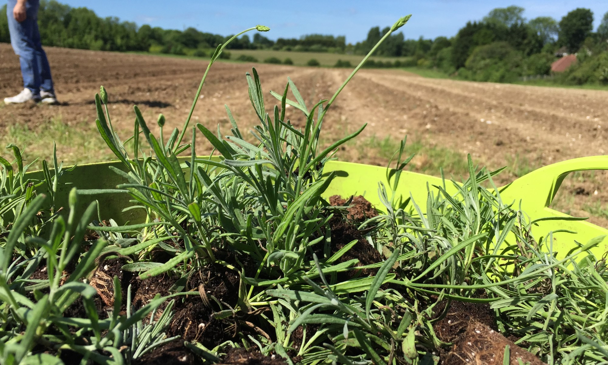 Restoring the Lavender Fields of Carshalton, Wallington and Banstead