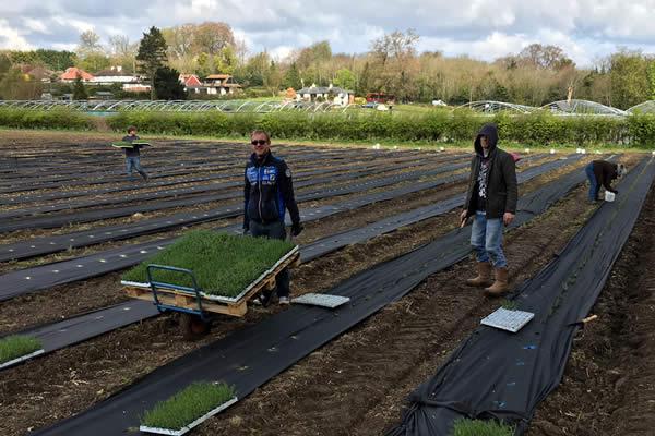 Planting Lavender in Surrey