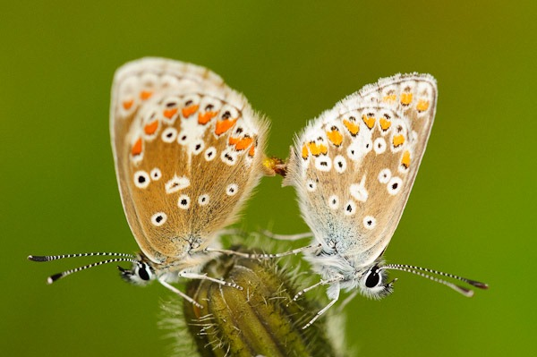 Common Blue's mating