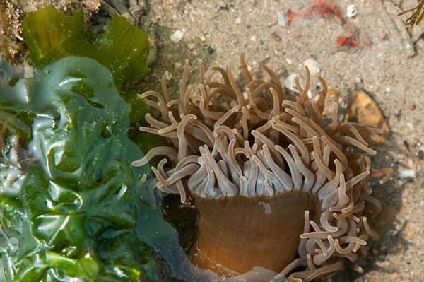 Snakeslock Anemone (brown form)