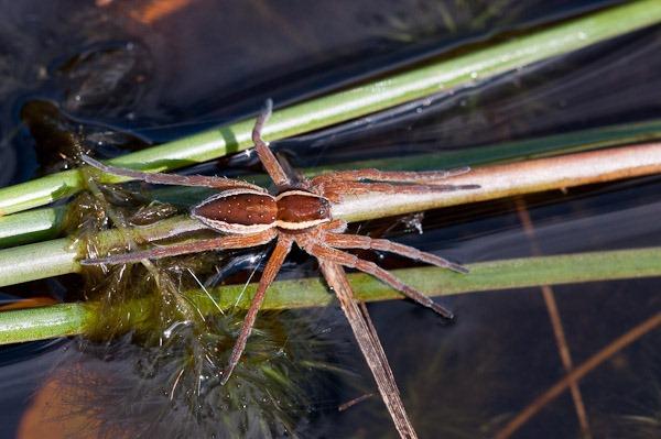 Raft Spider