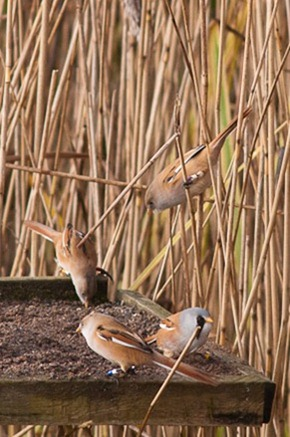 """Bearded Tits coming out of the reeds to """"feed"""" on the grit trays"""