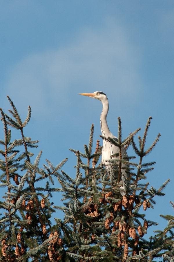 Grey Heron at Chorlton Ees