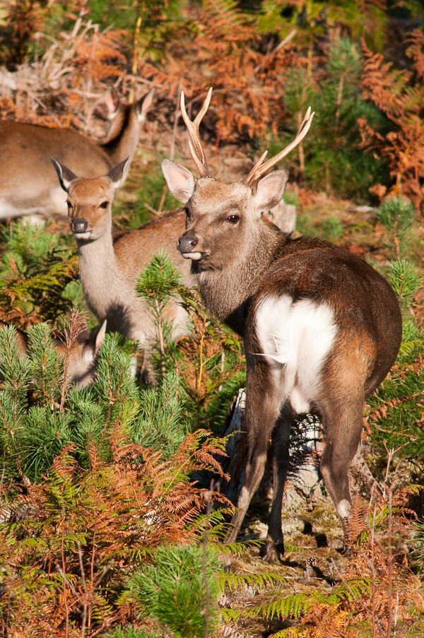 Sika Stag and young