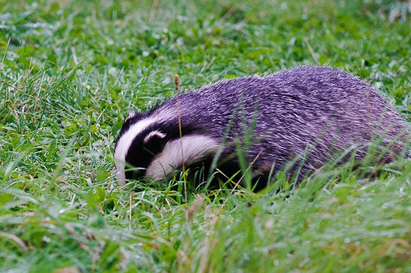 Badgering about