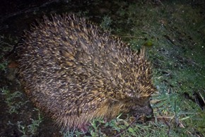 Hedgehog searching for a mid-winter feast