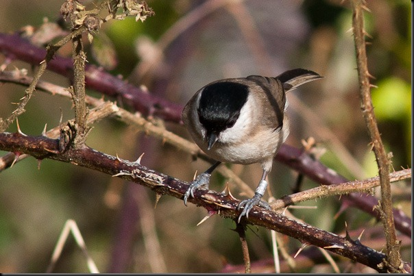 Marsh Tit - look at that shiny head, a good one to compare with the Willow Tit in the previous post