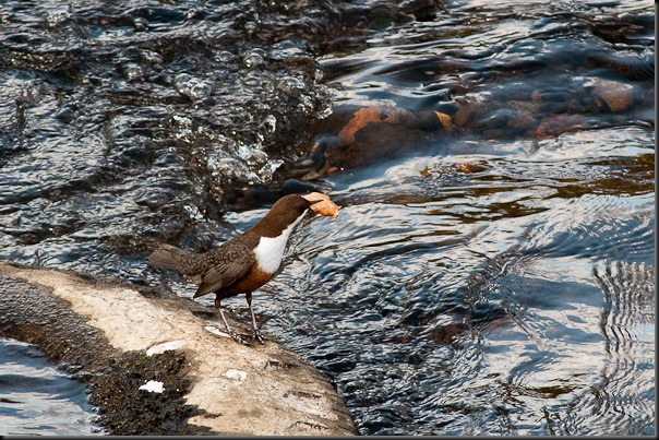 Dipper on the River Mersey collecting nesting material
