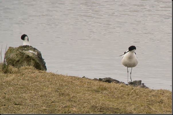Another pair of Avocets at Leighton Moss