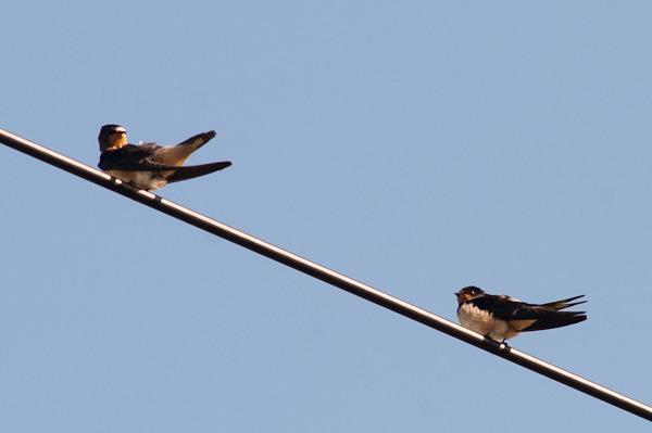 Barn Swallows on a telegraph wire