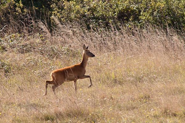 Roe Deer running through the quarry